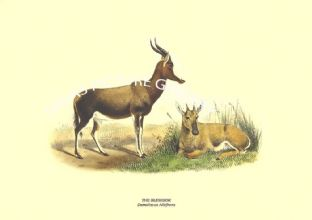 THE BLESSBOK - Damaliscus Albifrons